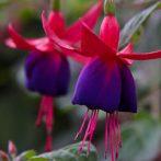 Les espèces et variétés de Fuchsias pour nos climats