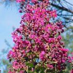 Lagerstroemia : superbes pour l'ornement du jardin