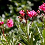 Les variétés de Laurier-Rose rustiques