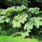 Gunnera plante rustique pour un jardin à l'aspect tropical