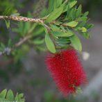 Callistemons : des plantes gélives mais si spectaculaires !