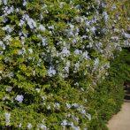 Plumbago capensis : du bleu dans votre jardin