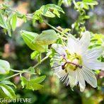 Les Passiflores : des fleurs très décoratives