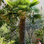Trachycarpus fortunei : un palmier pour les climats tempérés