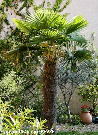 trachycarpus un palmier pour les climats temp r s plantes d 39 exception. Black Bedroom Furniture Sets. Home Design Ideas
