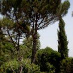 Le pin parasol, incontournable dans un jardin de style méditerranéen,