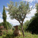 Pour votre jardin, choisissez bien votre olivier