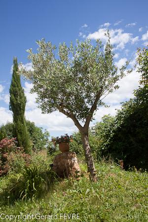 Un olivier pour votre jardin : choisissez-le bien | Plantes d\'Exception