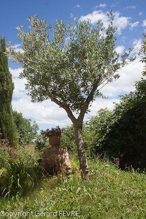 l 39 olivier un arbre indispensable un jardin m diterran en plantes d 39 exception. Black Bedroom Furniture Sets. Home Design Ideas