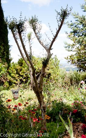 L\'olivier un arbre indispensable à un jardin méditerranéen   Plantes ...