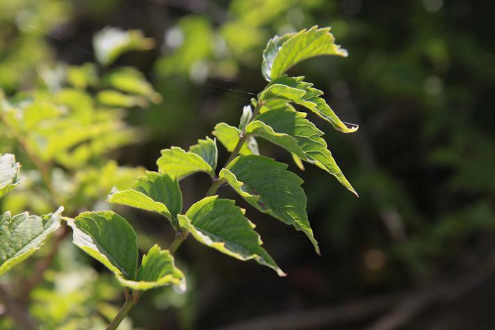 La bignone jasmin trompette une plante facile et superbe plantes d 39 exception - Fleur en forme de trompette ...