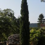le Cyprès d'Italie : un marqueur du paysage méditerranéen