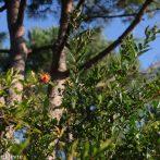 De belles fleurs rouges sur un arbuste méditerranéen …