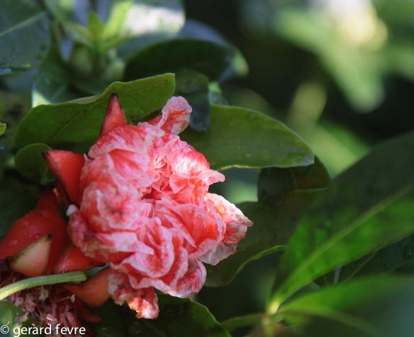 Le grenadier arbuste d 39 ornement m diterran en et ses for Portent ses fruits