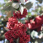 Des fruits rouge vif superbes en hiver …