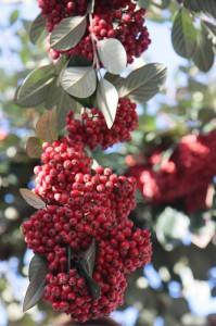 Une grappe de fruits du Cotoneaster lacteus (en janvier 2013)