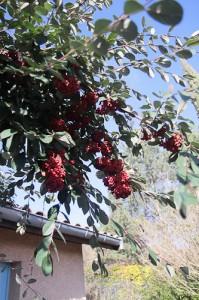 La branche d'un arbuste de 3m de Cotoneaster lacteus
