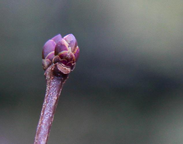 Bouton de Lilas en hiver