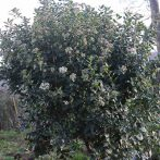 Avez-vous envie d'un arbuste persistant qui fleurisse l'hiver ?