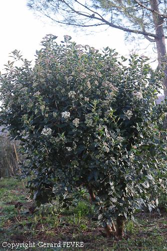 Le laurier tin un arbuste avec toutes les qualit s for Plante exterieur toute saison