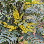 Une abondante floraison jaune en plein hiver. Que demander de plus ?