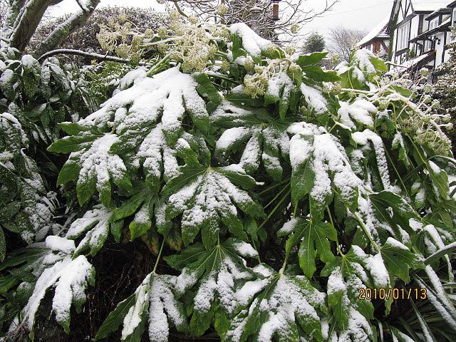 Une belle plante exotique en pleine terre aralia fatsia for Belle plante exterieur