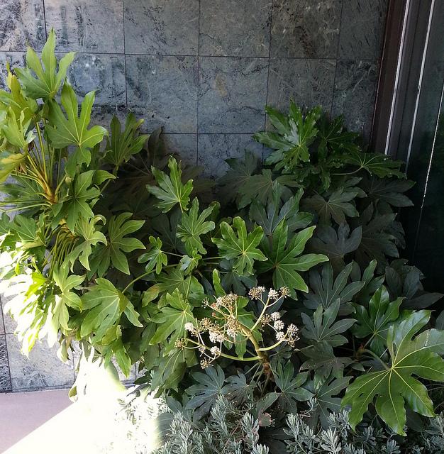 Un Fatsia japonica à l'entrée d'une maison par dnorton