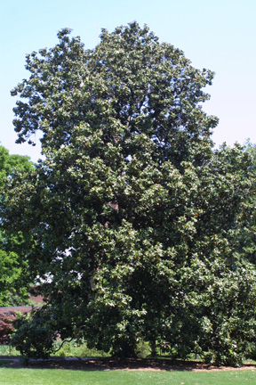 (c) 2002 Steven J. Baskauf - Magnolia grandiflora