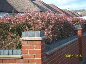 Abelia grandiflora sur une terrasse par Wallygrom