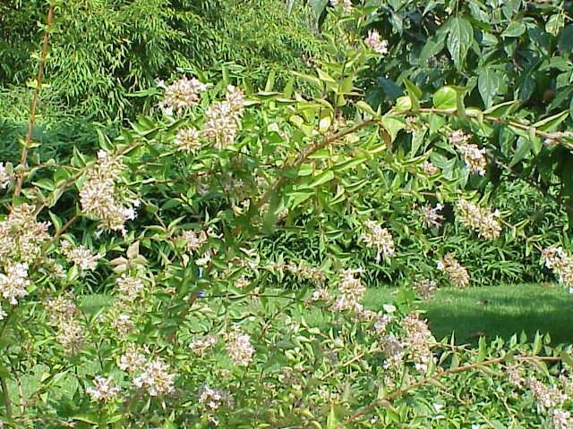 Abelia chinensis par Kurt Stüber