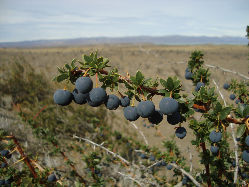 Berberis buxifolia ou Calafate