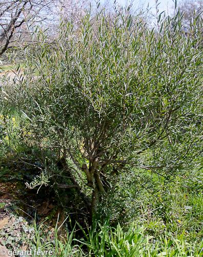 Un Filaria en fin d'hiver (taillé pour dégager le tronc)