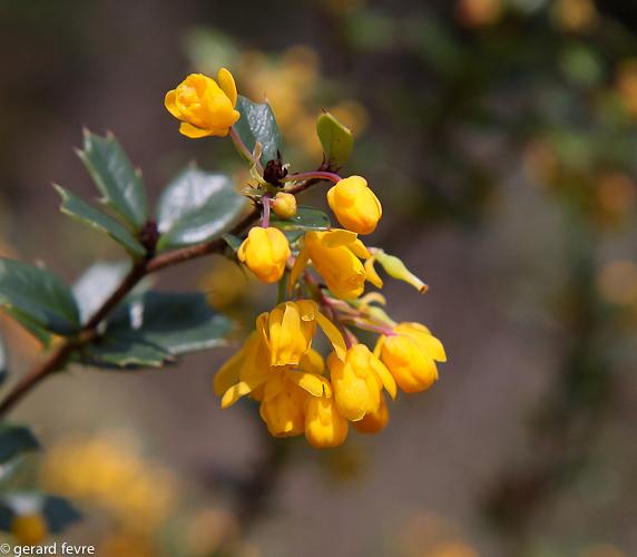 Feuilles et fleurs de Berberis darwinii