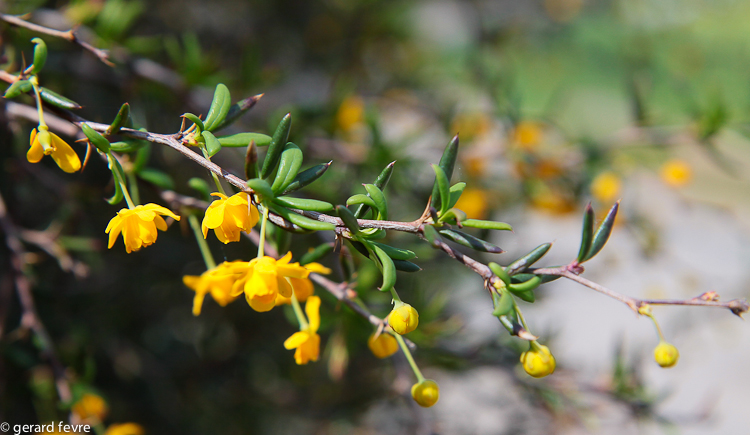 Berberis X Stenophylla au printemps