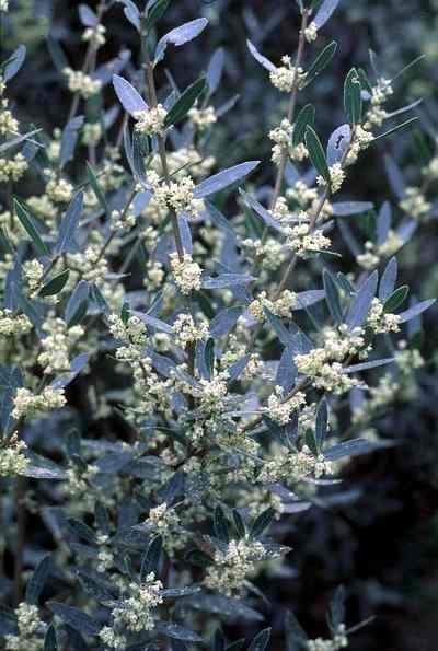 Fleurs de Filaria (par Escalupio)