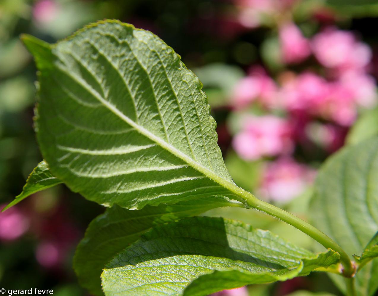 Le revers des feuilles pubescent avec des poils le long des nervures