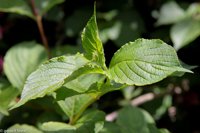 Les feuilles sessiles et dentées