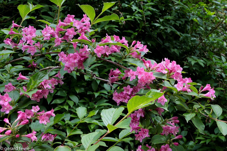 Une branche fleurie de Weigelia