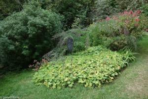 Le jardin du merle et son Choisya aztec