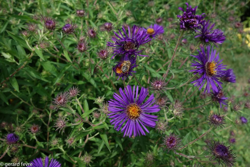 Asters visités par une abeille