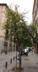 Hibiscus syriacus en arbre d'alignement à Madrid