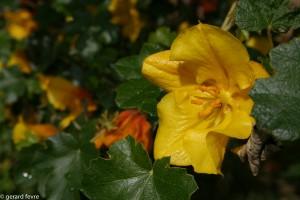 Fleur de Fremontodendron