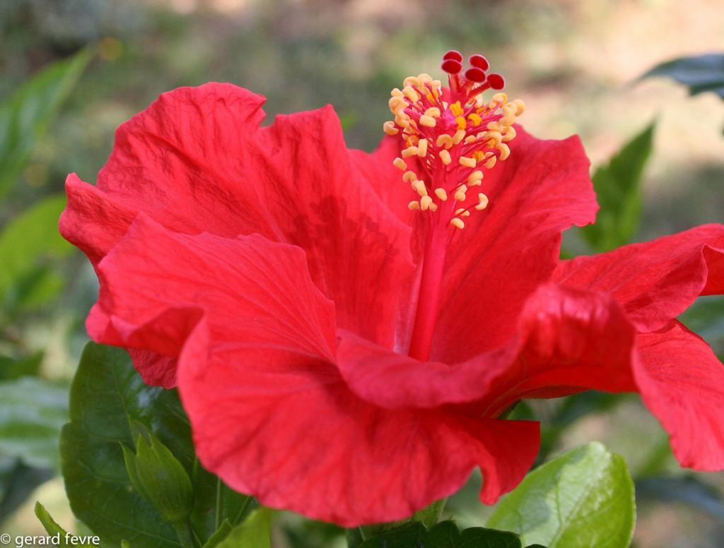 Une fleur d'Hibiscus rosa-chinensis