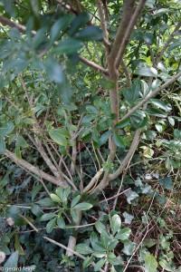 Les branches de Choisya