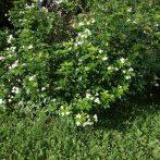 Un buisson qui rappelle l'oranger : le Choisya