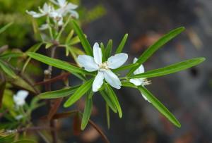 Choisya aztec - image su site Wiki-Plantes