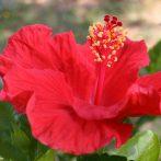 Un Hibiscus pour les climats tempérés